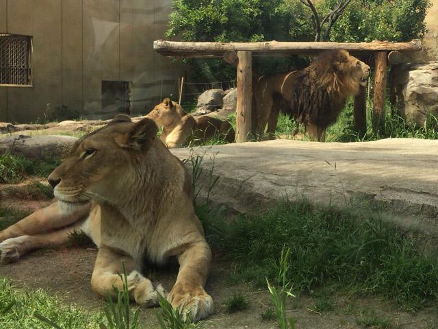 td_lion2