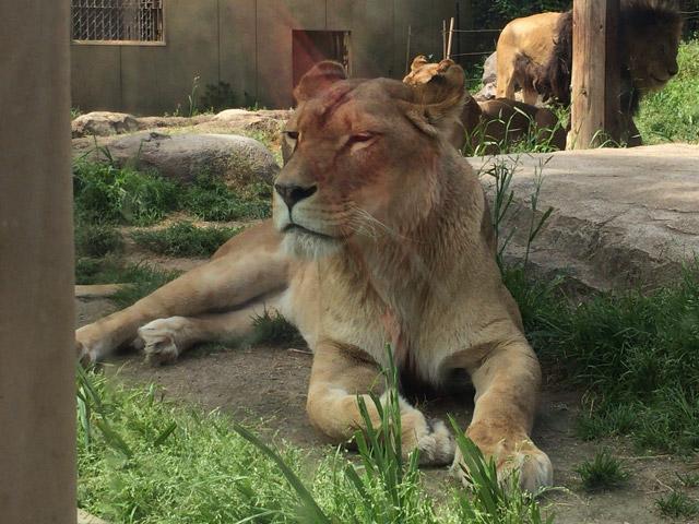 td_lion3