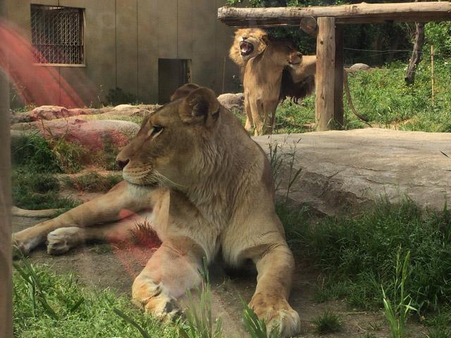 td_lion4