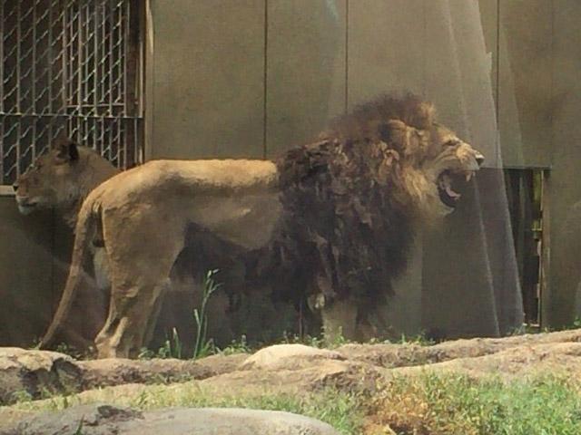 td_lion6