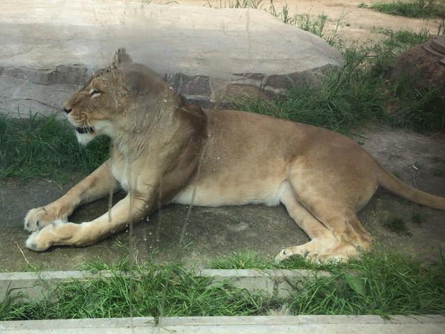 td_lion7